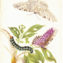 The Flowering Genius of Maria Sibylla Merian