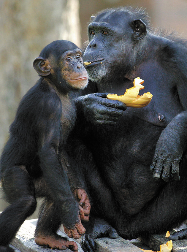 A chimpanzee mother and daughter eating pieces of a hand-carved pumpkin at the Taronga Zoo, Sydney, Australia, October 31, 2005.