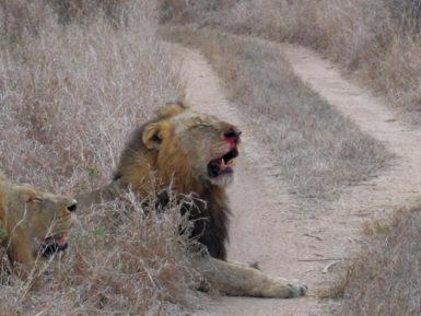 Satan, the 'bad lion,' Sabi Sands game reserve, South Africa