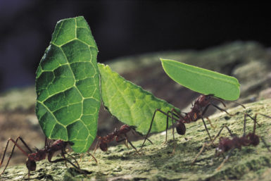 Leafcutter ants on Barro Colorado Island, Panama; photograph by Mark Moffett from his book Adventures Among Ants, which will be published by University of California Press in May. For more images, see the NYR blog, blogs.nybooks.com.
