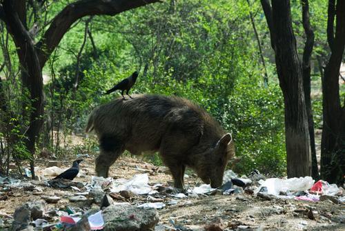 A pig foraging in Mehrauli.jpg