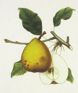 Beurre d'Aremberg pear; mid-nineteenth-century lithograph by the Amana Society, Iowa County, Iowa