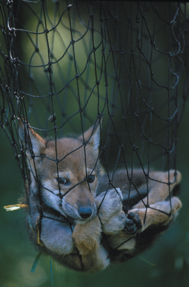 A red wolf pup (Canis rufus) netted for handling at a captive-breeding facility in Washington State
