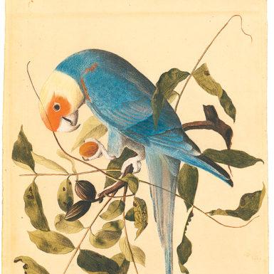 'Carolina parakeet,' 1811; illustration by John James Audubon from Audubon: Early Drawings, published by Belknap Press/Harvard University Press