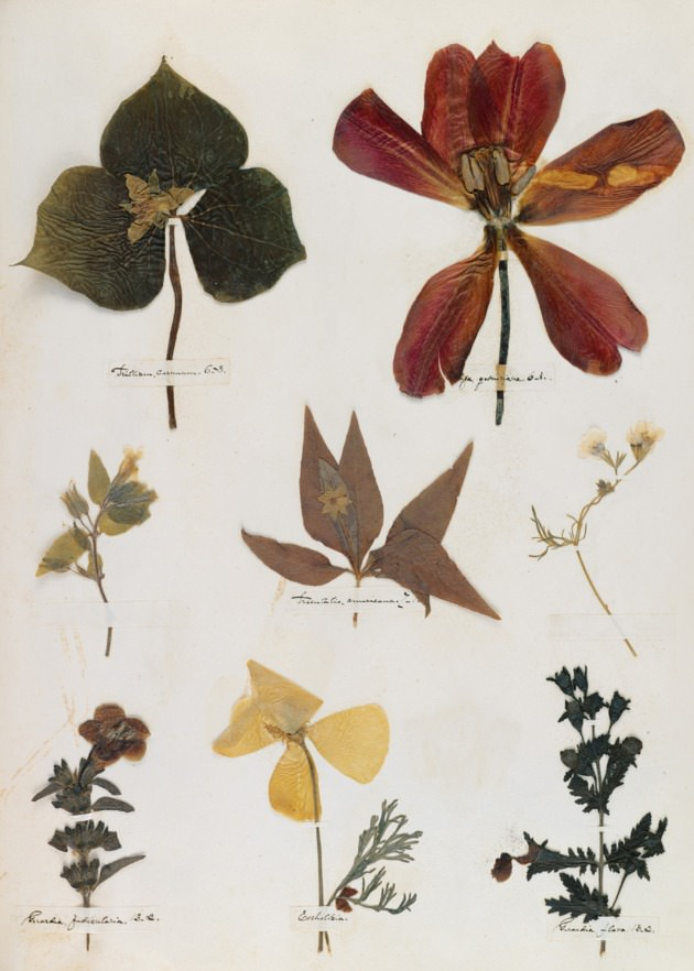 Digital fascimile from Emily Dickinson's Herbarium.jpg