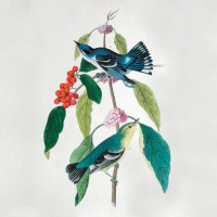 Cerulean wood warblers; illustration by John James Audubon