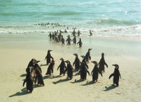 Rescued penguins being released back into the sea after they were soaked in an oil spill off the coast of Cape Town, South Africa, August 24, 2000