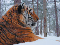 Liuty, a male tiger whose name, according to John Vaillant in The Tiger, is 'an efficient word combining vicious, ferocious, cold-blooded, and bold,' at a Siberian wildlife rehabilitation center run by the tiger catcher Vladimir Kruglov