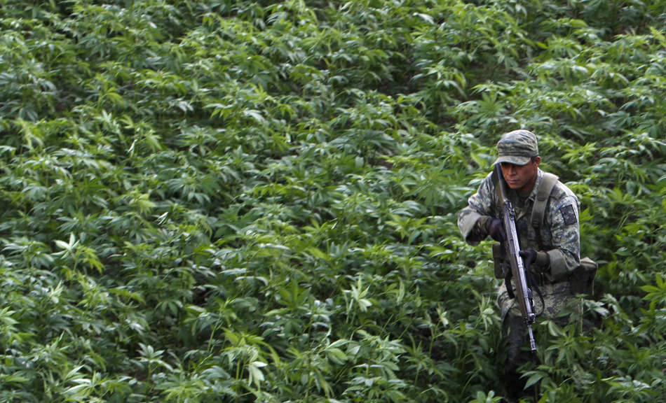 A soldier guarding a marijuana plantation discovered during military operations in northern Mexico, January 30, 2012