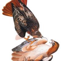 John James Audubon: Red-Tailed Hawk, from Audubon's Birds of America, 1827–1838