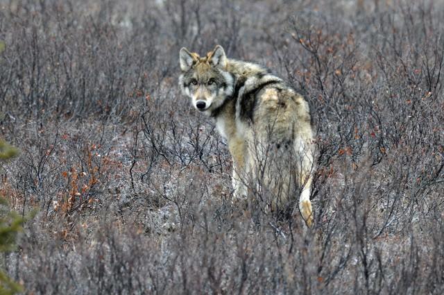 Corbis Wolf.jpg