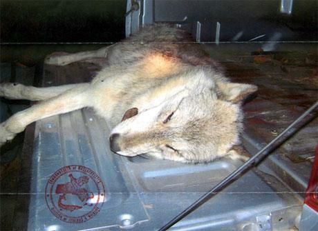 Maine Wolf Coalition.jpg