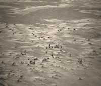 Subhankar Banerjee: Caribou on Sand, from his Oil and the Geese series (Teshekpuk Lake wetland, Alaska), 62 x 70 inches, 2006