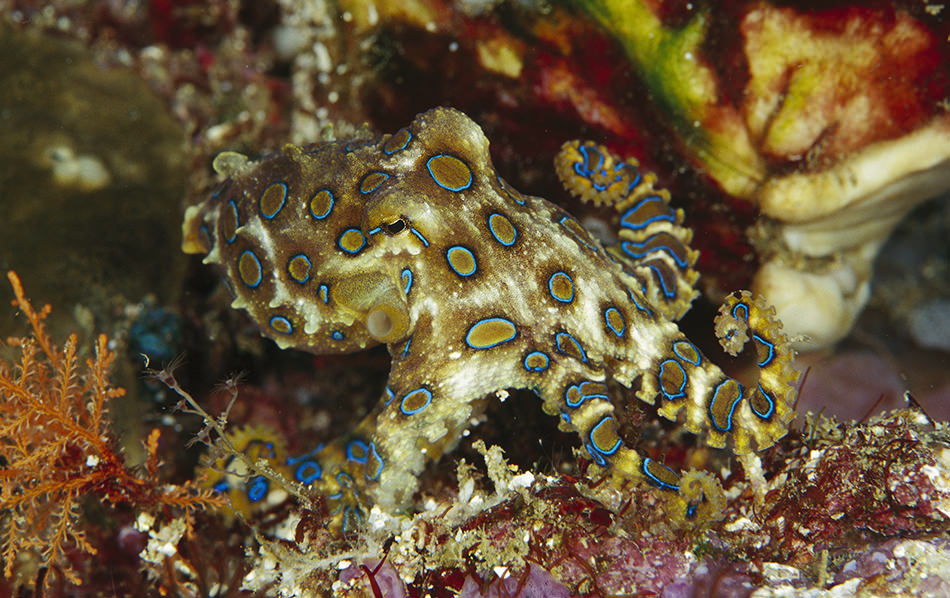 Greater Blue-ringed Octopus.jpg