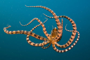 Wonderpus octopus, Lembeh Strait, Indonesia