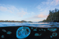A moon jellyfish and cross jellyfish floating in a remote channel near Vancouver Island, British Columbia; photograph by David Hall from Beneath Cold Seas: The Underwater Wilderness of the Pacific Northwest, which collects his images of marine life in that region. It is published by University of Washington Press.