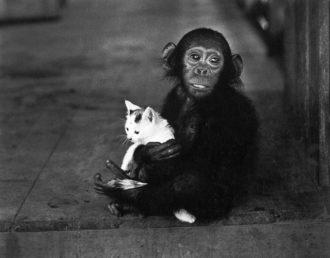 A tamed chimpanzee at Albert Schweitzer's mission hospital, Lambarene, Gabon, 1954