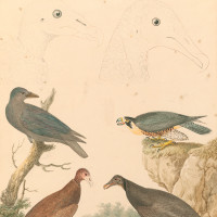 Clockwise from top left, the head of a turkey vulture, the head of a black vulture, a peregrine falcon, black vulture, turkey vulture, and common raven; painting by Alexander Wilson, early nineteenth century