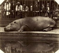 Count de Montizon: The Hippopotamus at the Zoological Gardens, Regent's Park, 1852