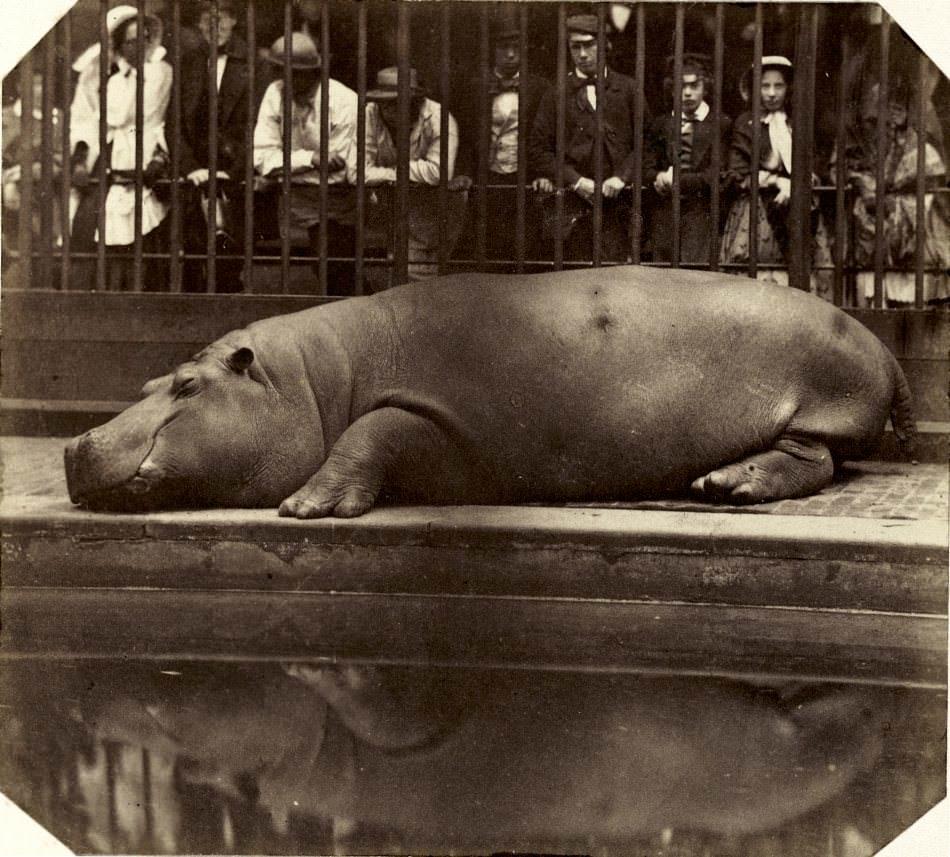 Count de Montizon Hippo.jpg