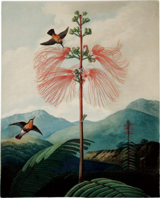 The Large Flowering Sensitive Plant, whose 'plant electricity,' Oliver Sacks writes, 'moves slowly...as one can see by watching the leaflets...closing one by one along a leaf that is touched.' Illustration from Robert John Thornton's The Temple of Flora (1799–1807), published in a new edition by Taschen.