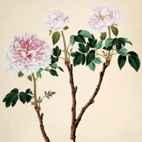 Paeonia, an old moutan cultivar from John Reeves's Botanical collection from Canton, China, mid-nineteenth century; from Martyn Rix's The Golden Age of Botanical Art