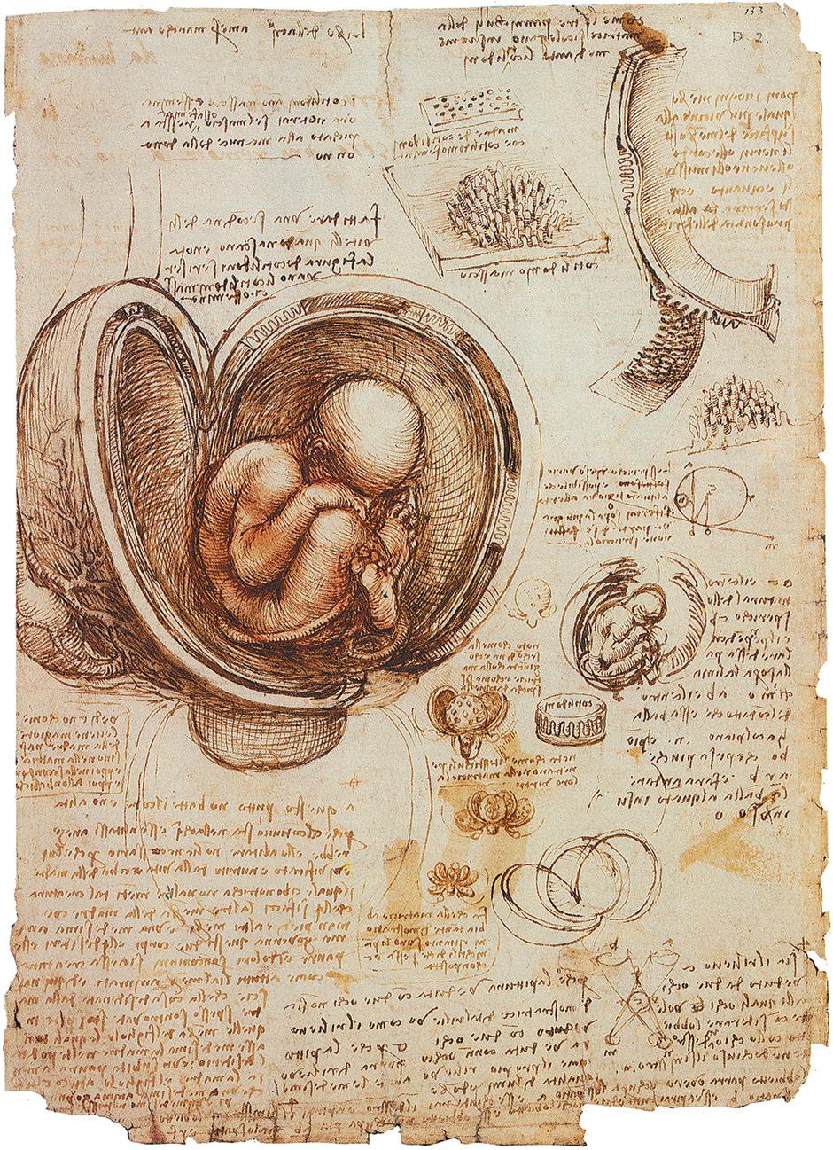 Leonardo Da Vinci: The Fetus and the Linings of the Uterus, circa 1511–1513
