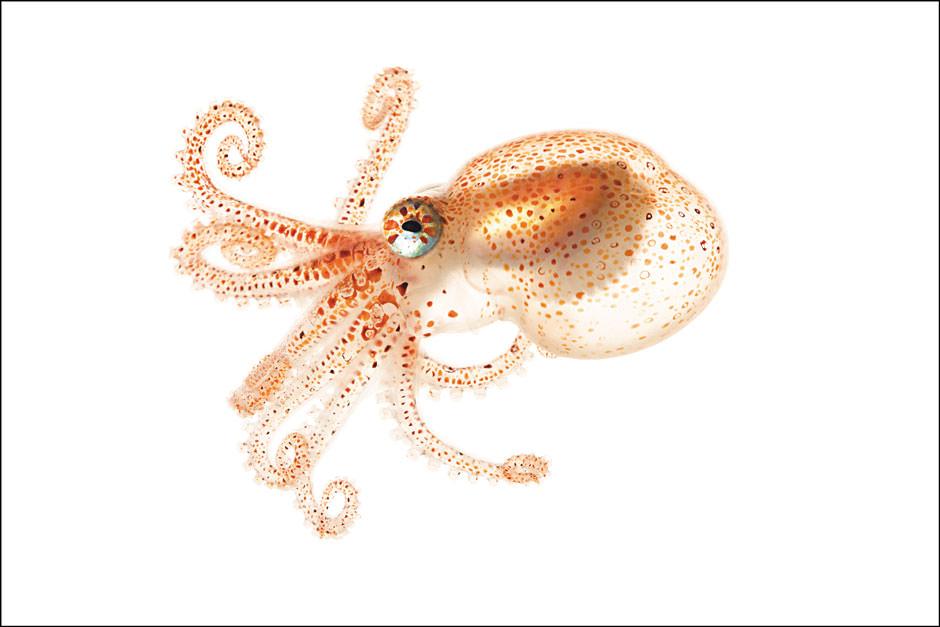 Spineless giant octopus.jpg