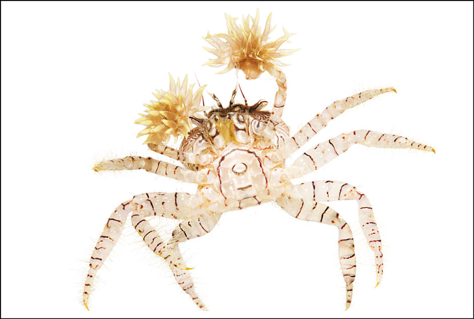 Spineless mosaic pom pom crab.jpg