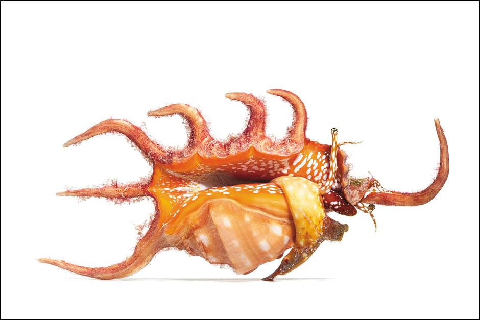 Spineless orange spider conch.jpg