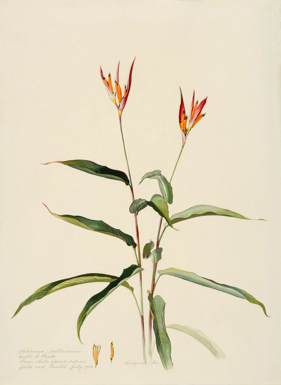 Mee heliconia.jpg