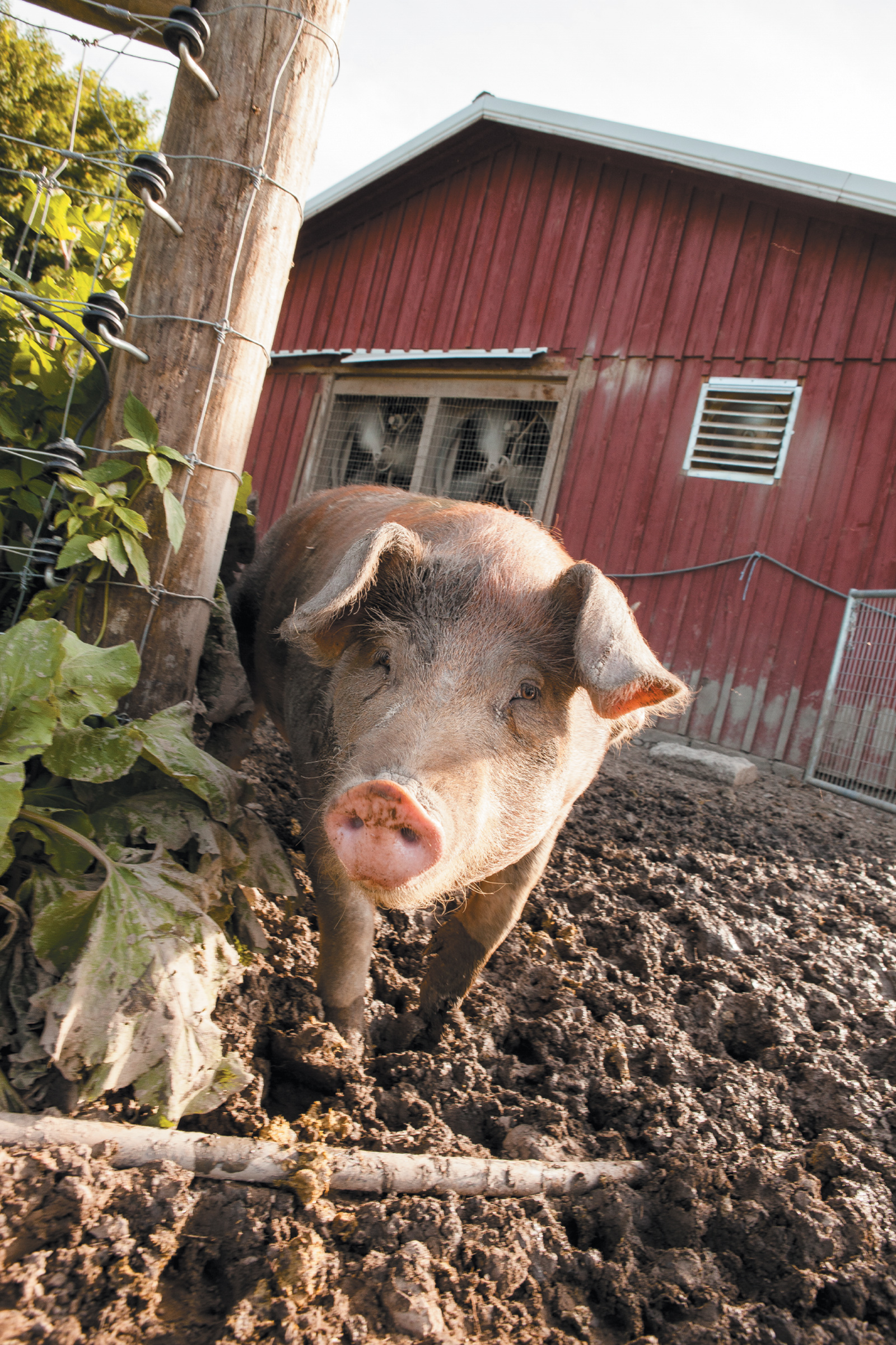 A young pig at J&D Farms, where the animals—raised for meat—roam in wooded lots and grassy paddocks, eating wild apples and foraging for tubers, Eaton, New York, June 2015