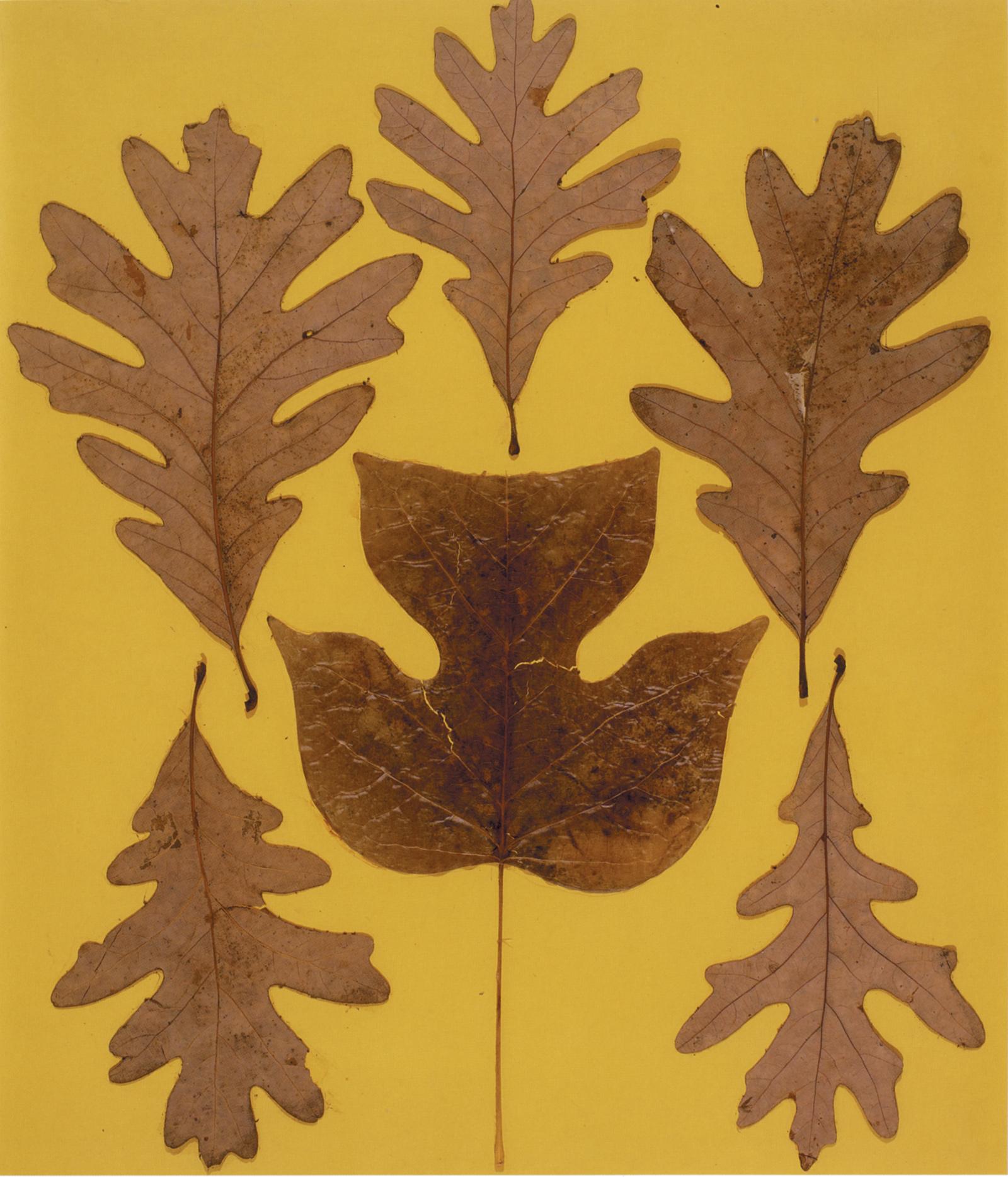 Josef Albers: Leaf Study IX, circa 1940