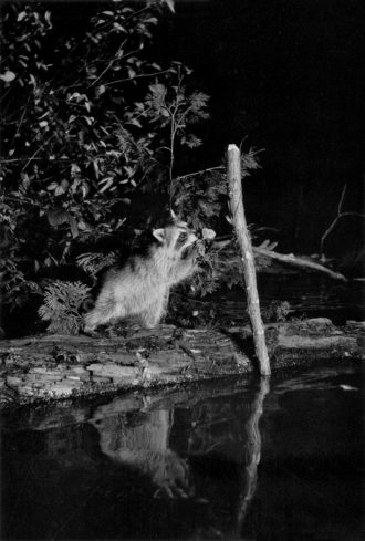 A raccoon on the northeast shore of Whitefish Lake, Michigan, 1903; photograph by George Shiras from In the Heart of the Dark Night, which collects his images of wildlife from the late nineteenth and early twentieth centuries. It is edited by Sonia Voss, with an essay by Jean-Christophe Bailly, and is published by Éditions Xavier Barral.