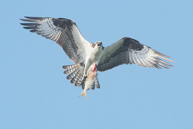 An adult osprey carrying a fish to feed its family in the nest, Jamaica Bay Wildlife Refuge; from Leslie Day's <i>Field Guide to the Neighborhood Birds of New York City</i>