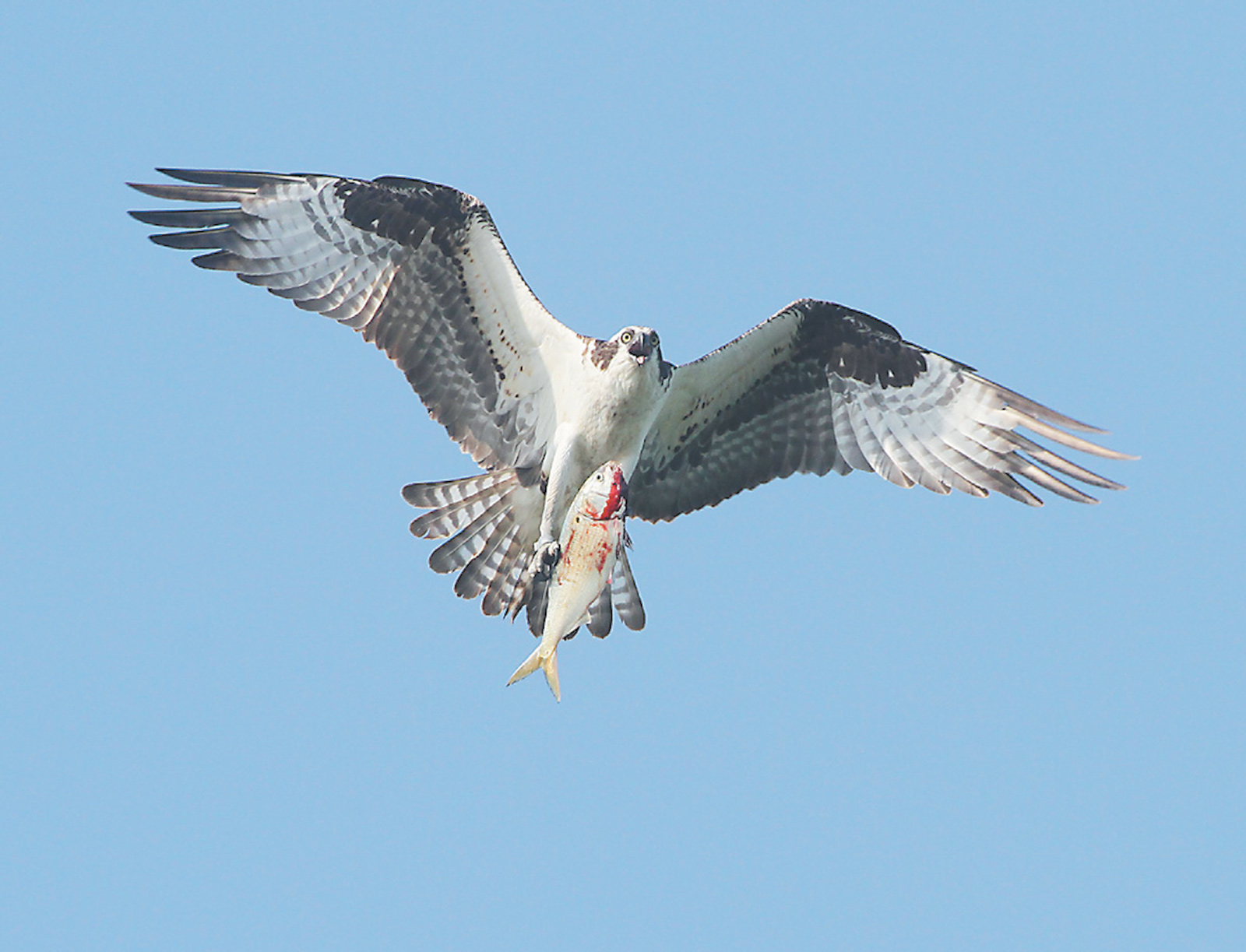 An adult osprey carrying a fish to feed its family in the nest, Jamaica Bay Wildlife Refuge; from Leslie Day's Field Guide to the Neighborhood Birds of New York City