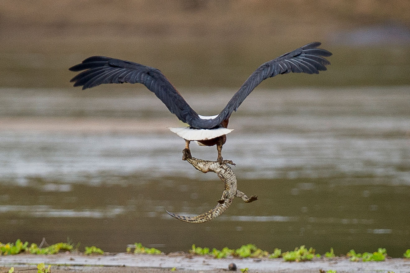 An African fish eagle flying off with a young Nile crocodile, 2015
