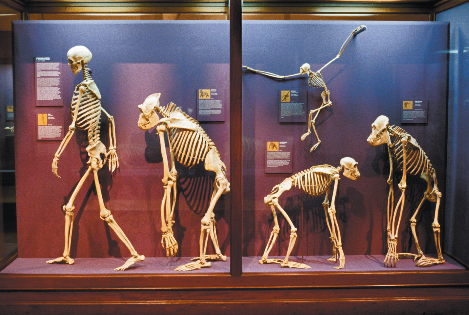 Primate skeletons at the Field Museum, Chicago, 1986