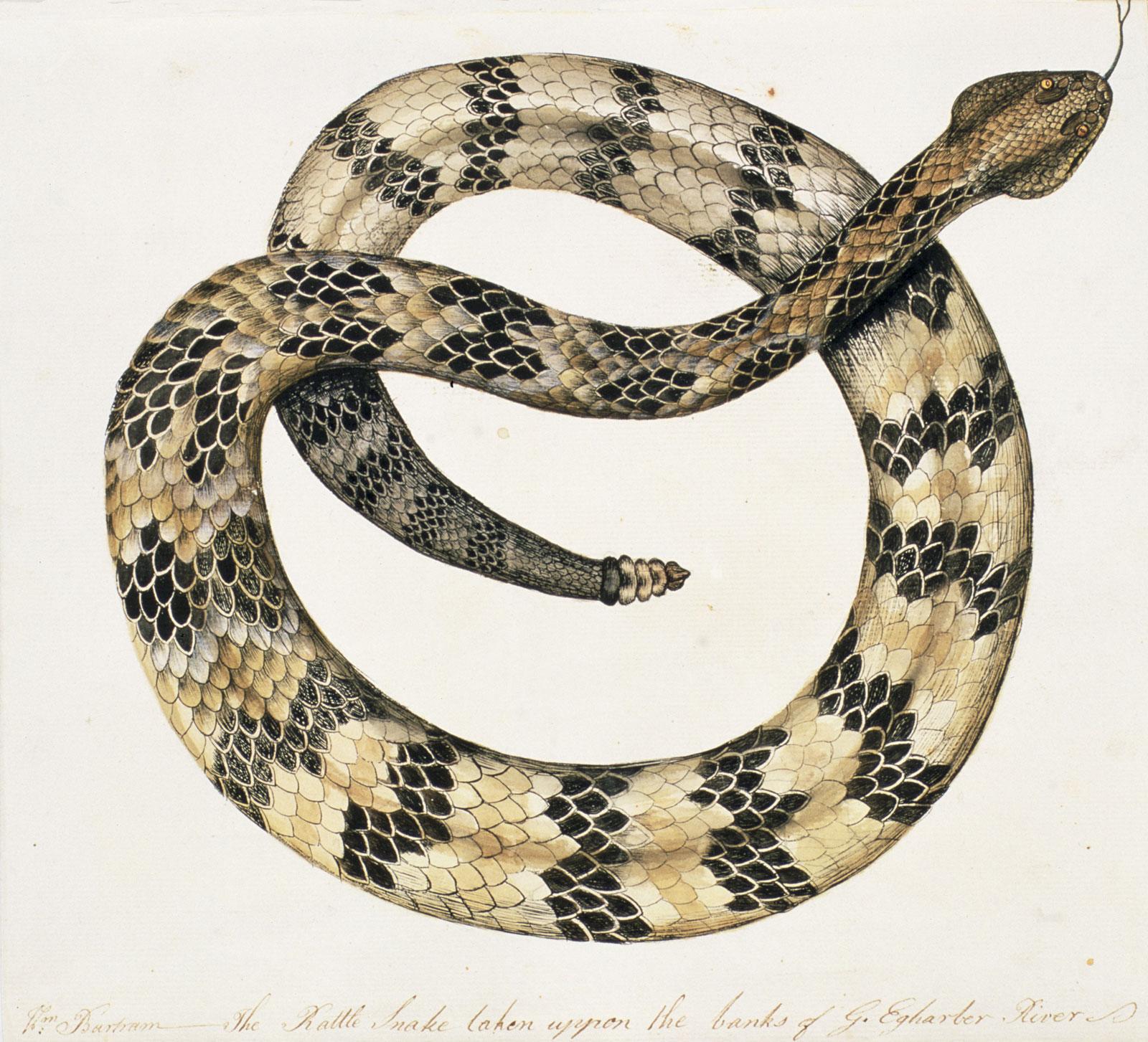 William Bartram: The Rattle Snake, late eighteenth century