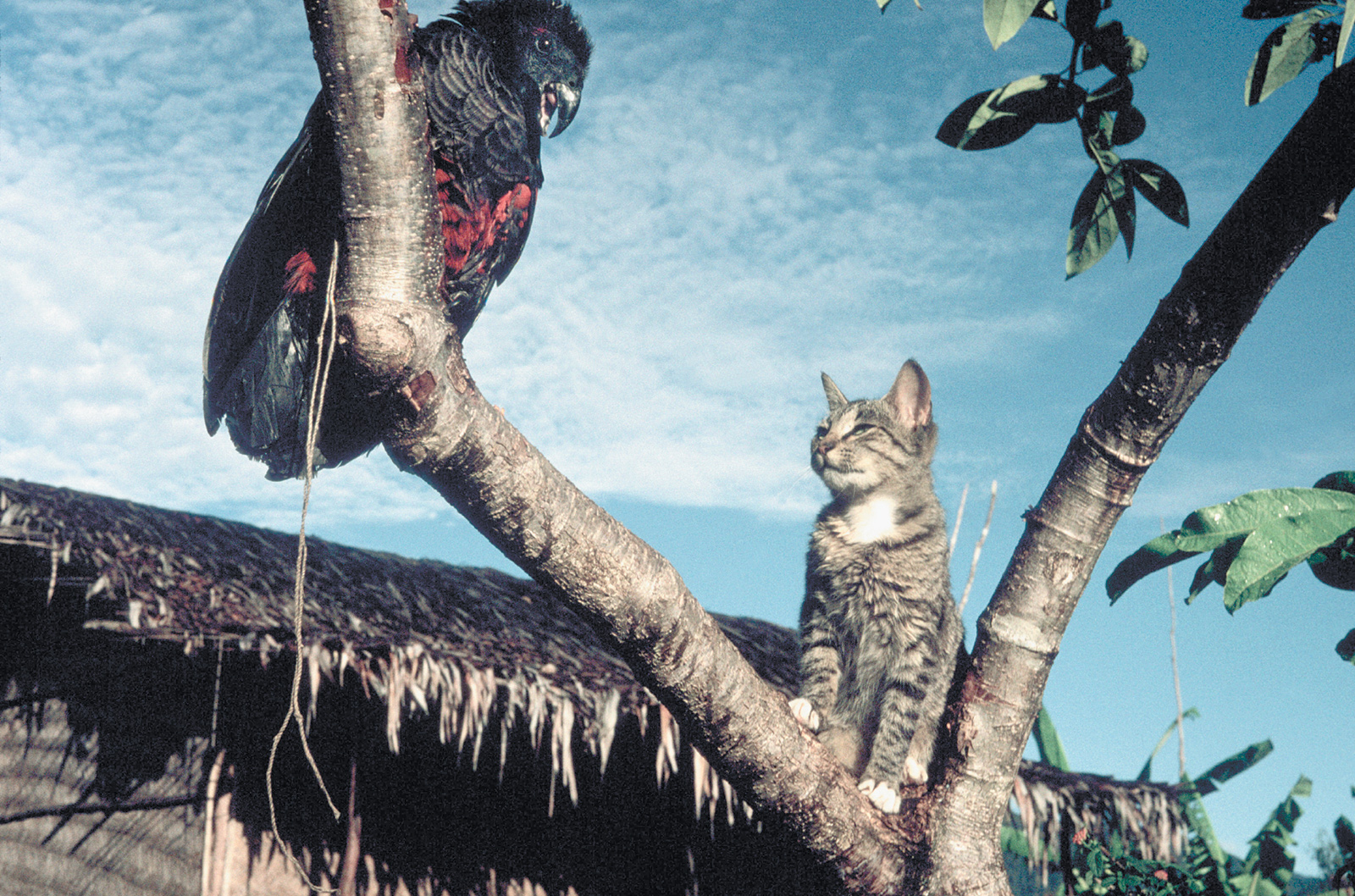 A tropical bird and a tabby cat, Herowana, Papua New Guinea, 1993