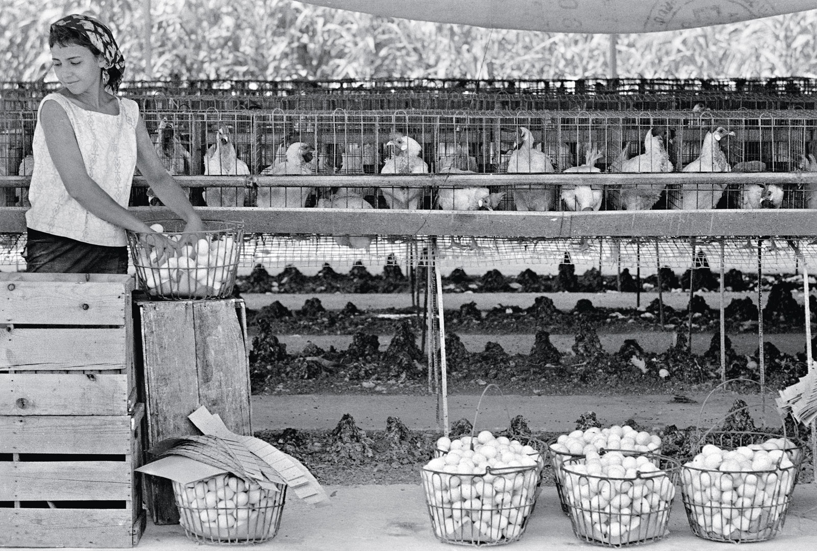 lockwood-chickens