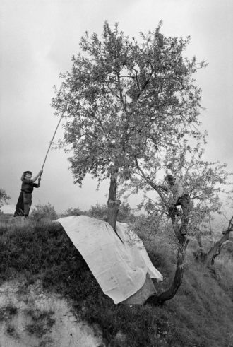 Gathering almonds in the Valencian town of Guadalest, Spain, September 1971; photograph by Guy Le Querrec