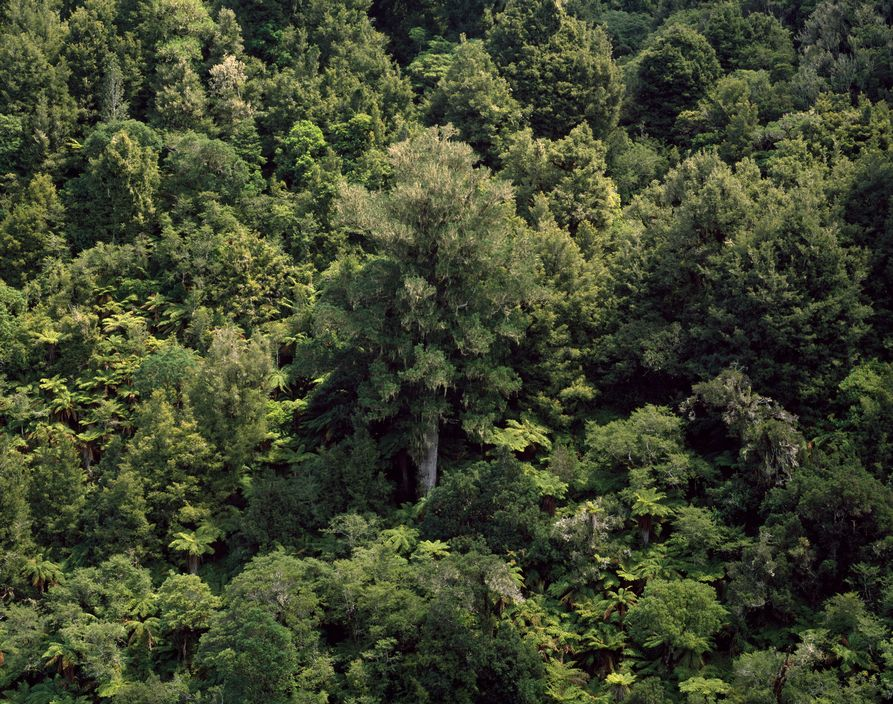 NEW ZEALAND. Native forest near Whakahoro. 2008.