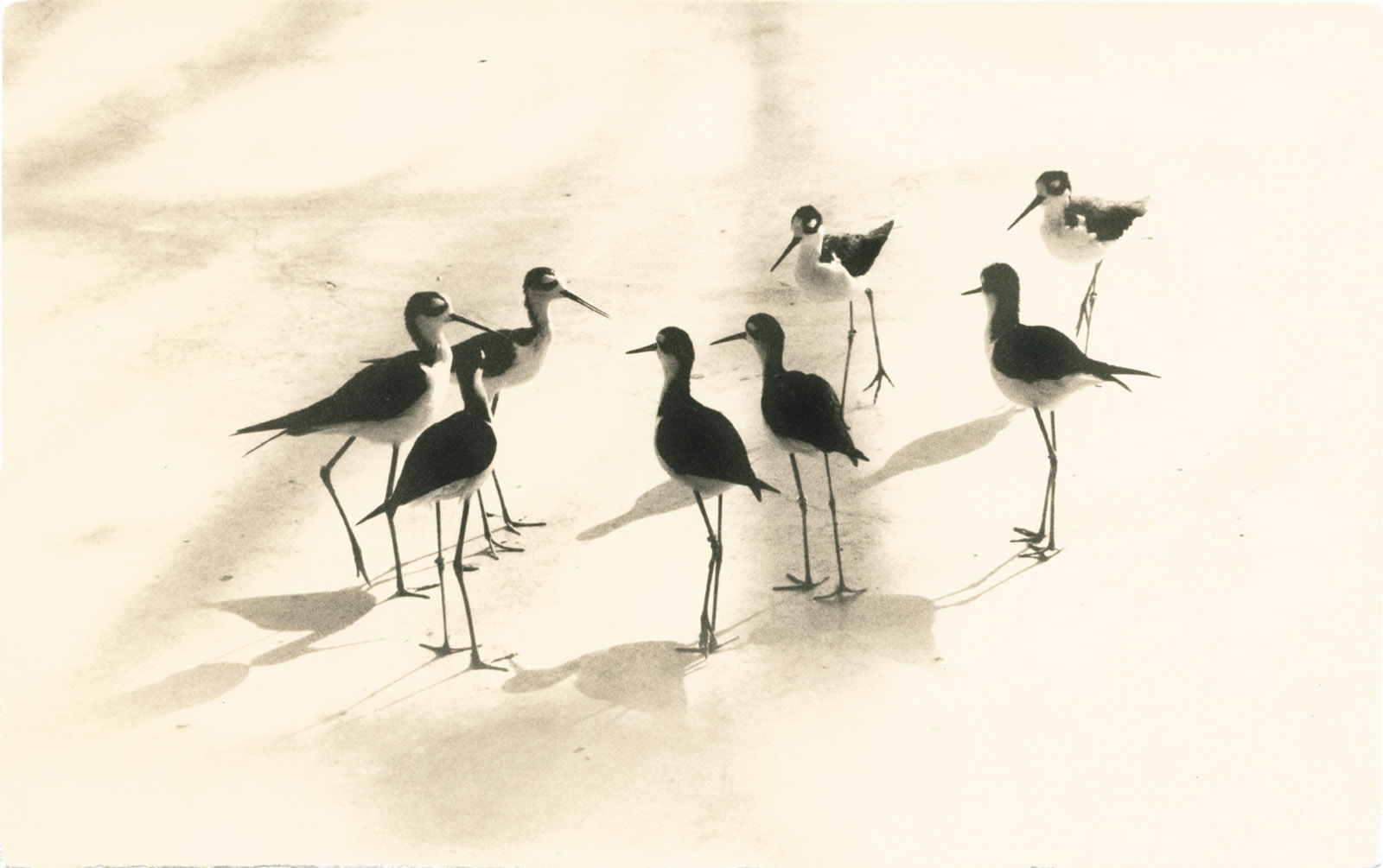 Black-necked stilts; photograph by Yamamoto Masao from Tori