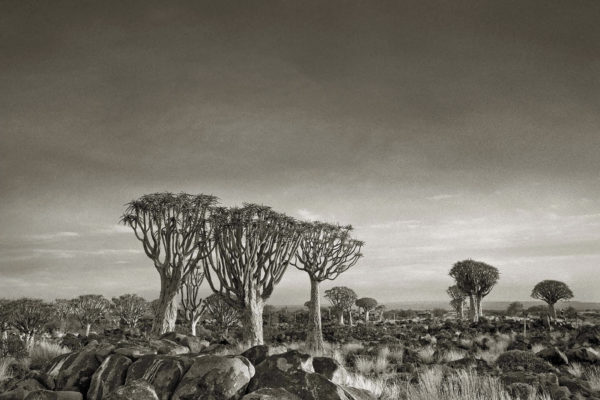 Quiver Tree Forest, Namibia; photograph by Beth Moon from her book Ancient Trees: Portraits of Time (2014). A collection of her color photographs, Ancient Skies, Ancient Trees, has just been published by Abbeville.