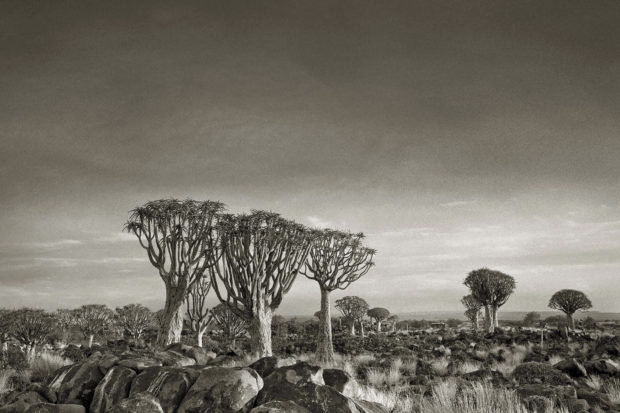 Quiver Tree Forest, Namibia; photograph by Beth Moon from her book <i>Ancient Trees: Portraits of Time</i> (2014). A collection of her color photographs, <i>Ancient Skies, Ancient Trees</i>, has just been published by Abbeville.