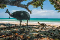 A cassowary chick following its father along a beach in Etty Bay, Queensland, Australia