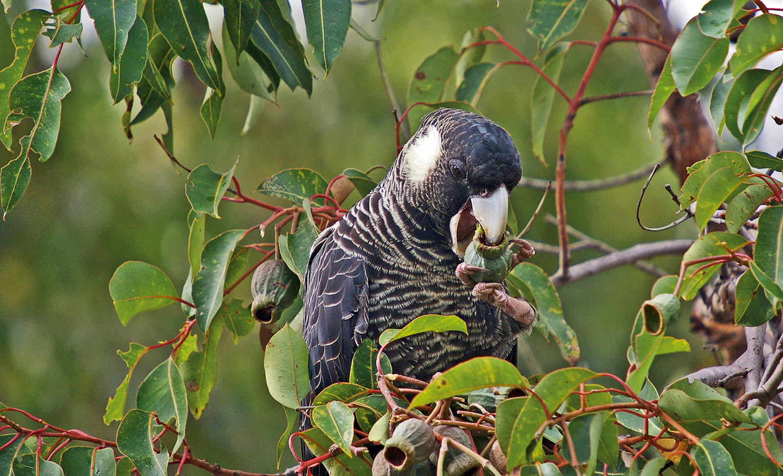 A Baudin's black cockatoo, whose main food is marri seeds; its elongated mandible is specially adapted to scoop the seeds out of marri nuts