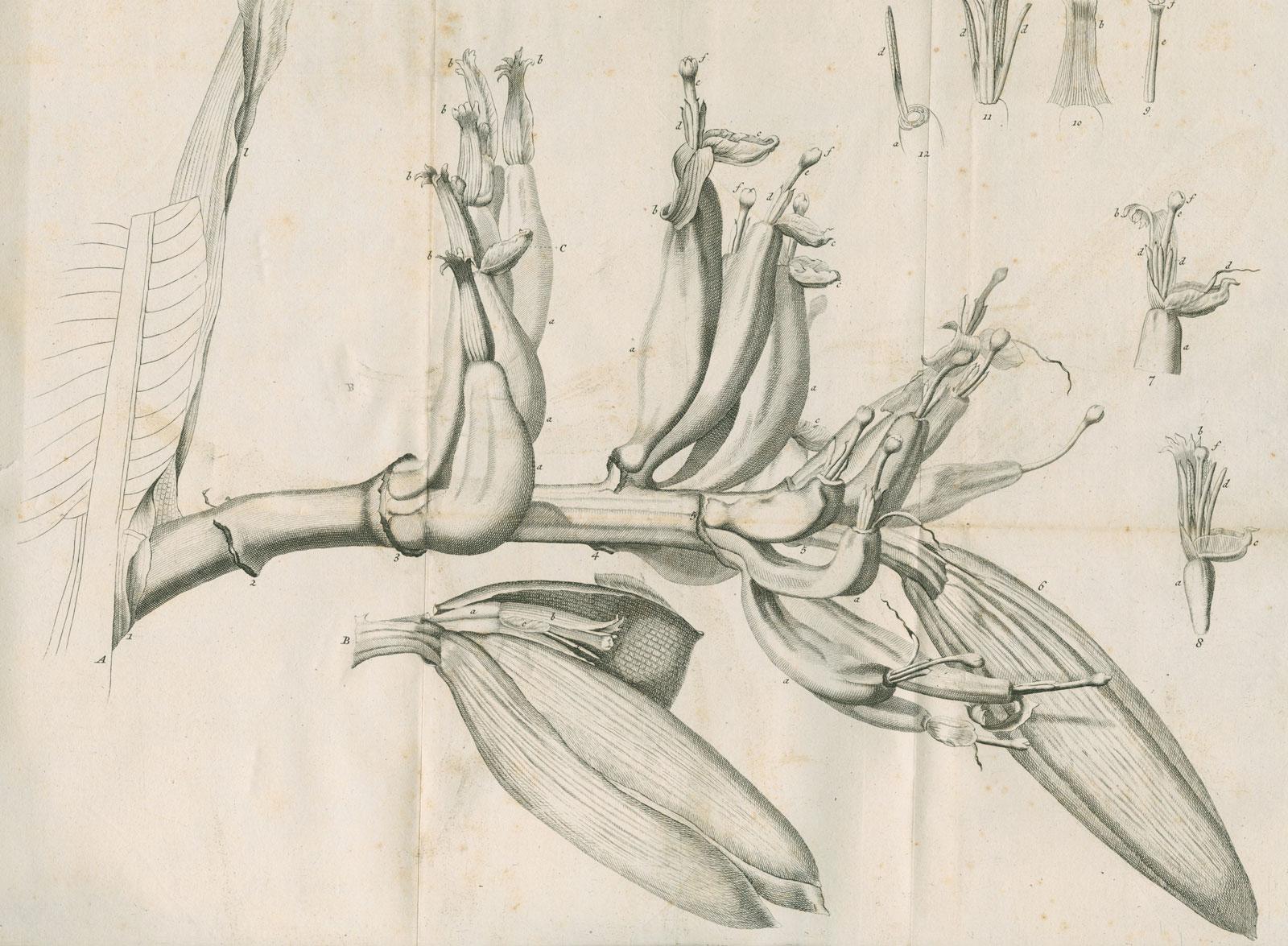 <em>Musa Cliffortiana</em> (Clifford's banana plant), engraving by Martin Hoffman, 1736