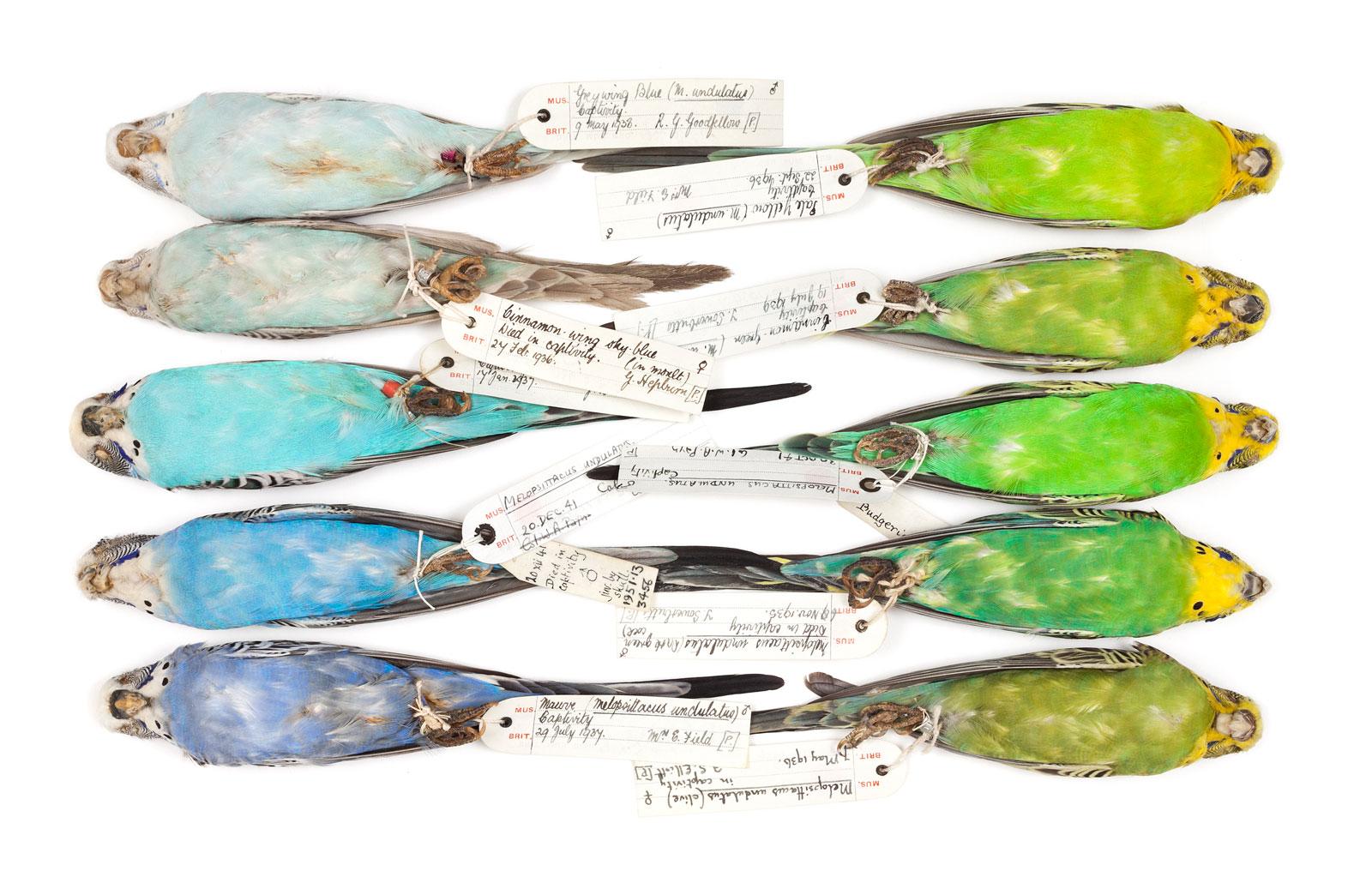 Budgie specimens (<em>Melopsittacus undulatus</em>) illustrating color variations, 1935–1957